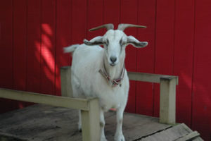 Summit-Questa Montessori School Pet Goat Davie, FL